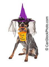 Halloween Witch Dog - A cute Australian Cattle dog sitting...