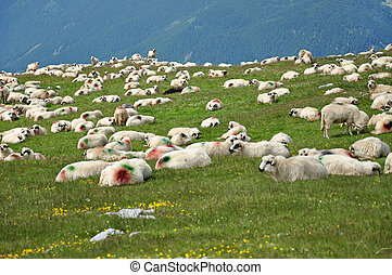 Herd of sheep in the mountains