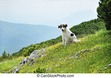 White dog in the mountains Transylvania, Romania