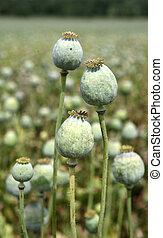 Poppy fiels - Poppy field