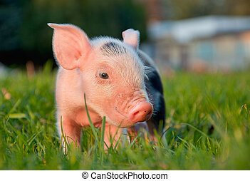 Piggy. - Young cute pink piggy in green grass