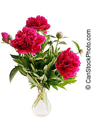 peonies in a vase isolated