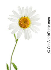 daisy isolated - One beautiful daisy isolated on white...