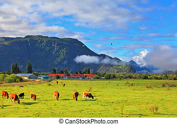 The idyll in Chilean Patagonia - Orange and black cows graze...