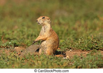 Black-tailed Prairie Dog (Cynomys ludovicianus) on alert in...