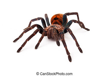 Greenbottle Blue Tarantula Front View - A large Greenbottle...