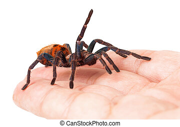 Greenbottle Blue Tarantula Spider in Hand - A friendly and...