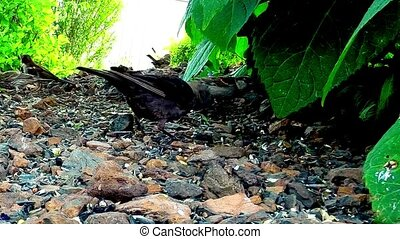 Grackle blackbird eating seed - Bird eating seed and corn...