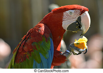Portrait Scarlet macaw eating fruit - Profile portrait...