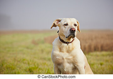 Dog on the field - Labrador retriever on the field in autumn...