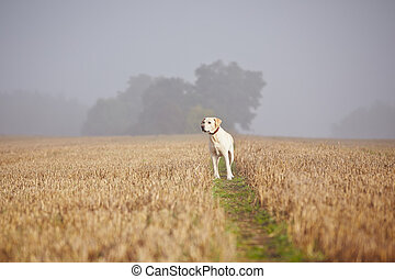 Dog on the field - Labrador retriever on the field in...