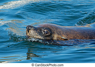 Brown fur seal - Swimming brown Cape fur seal Arctocephalus...