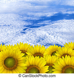 beautiful yellow Sunflower petals closeup with space text...