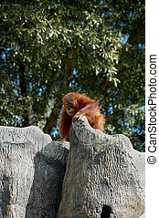 Orang-Utan (Pongo pygmaeus) - The largest ape, native to the...
