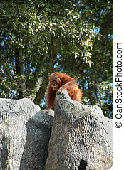 Orang-Utan Pongo pygmaeus - The largest ape, native to the...
