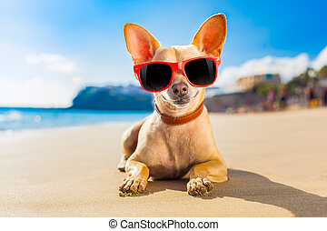 chihuahua summer dog - chihuahua dog at the ocean shore...