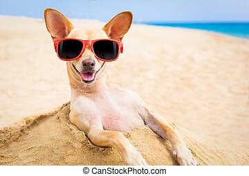 cool dog at the beach - cool chihuahua dog at the beach...
