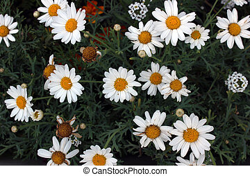 Garden Filled With Daisies - A flower garden filled with...