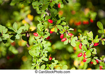 Red Barberry fruits - Berries of barberry grow on the...