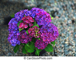 hydrangea - on gray background beautiful big hydrangea...