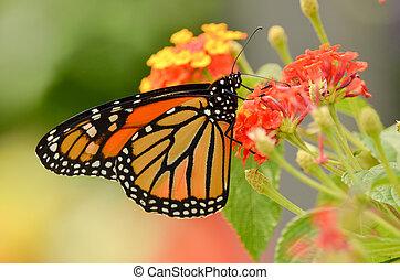 monarca, mariposa, settles, flor
