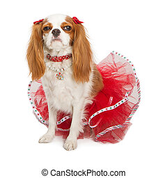 Grumpy Christmas Dog - A cute Cavalier King Charles Spaniel...
