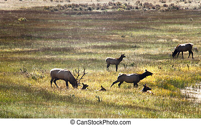 Autumn Elk - A small band of elk relaxing in a grassy meadow