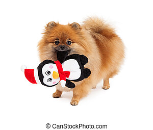 Pomeranian Holding Christmas Toy - A cute little sable color...