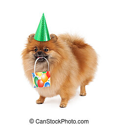 Pomeranian Party Hat and Present - A cute little fluffy...