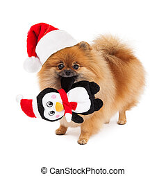 Pomeranian Santa Hat and Toy - A cute little Pomeranian dog...