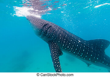 Underwater shoot of a gigantic whale sharks Rhincodon typus...