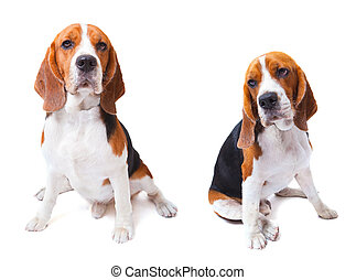 two beagle dogs sitting on white background use for animals...