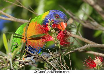 Rainbow Lorikeet - A Rainbow Lorikeet, Trichoglossus...