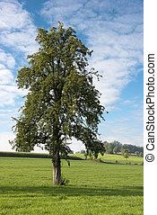 single tree in landscape - solitary tree in grass in belgium...