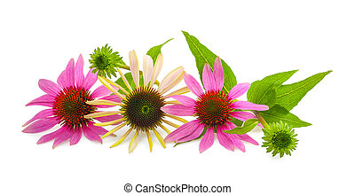Coneflower with bud and leaves isolated on white