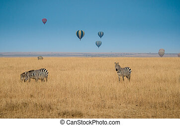 safari with hot air baloons - zebras in the savannah with...