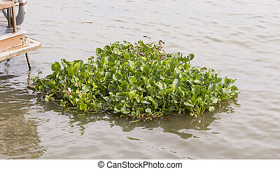 water hyacinth in rever