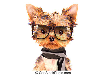 dog wearing a shades - cute puppy dog wearing a shades and...
