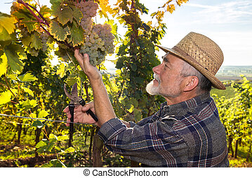 Man working in a vineyard - Vintner in straw hat examining...