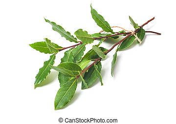 fresh laurel twigs on white - Fresh twigs of laurel isolated...