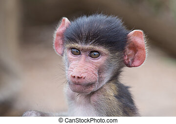 Baby baboon portrait looking very confused close-up - Baby...