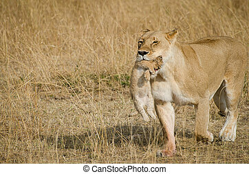 Lioness with her cubs in the mouth - liones carring her cub...