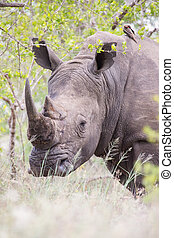 Portrait of an old rhino hiding for poachers in dense bush -...
