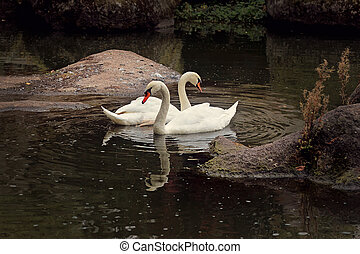 Two Swans on Water - Pair of Swans on Black Background Two...