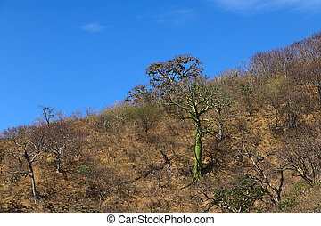 Tropical Dry Forest in Southern Ecuador - Tree with green...