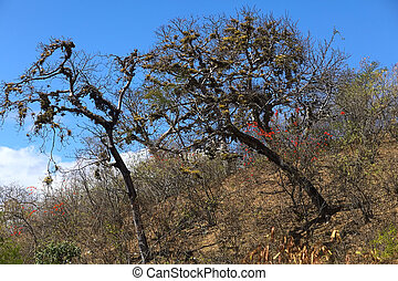 Tropical Dry Forest in Southern Ecuador - Trees overgrown...