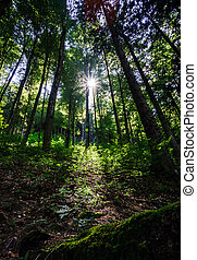 Sunlight rays through the trees in natural forest