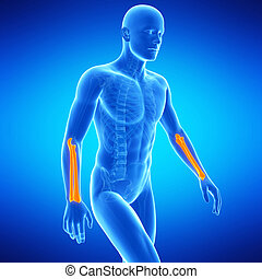 the lower arm bones - medical illustration of the lower arm...
