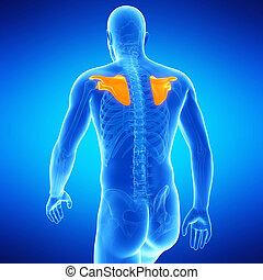 the shoulder blades - medical illustration of the shoulder...