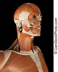 3the male muscular system - medical illustration of the male...